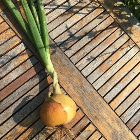 white onion bulb on wood table